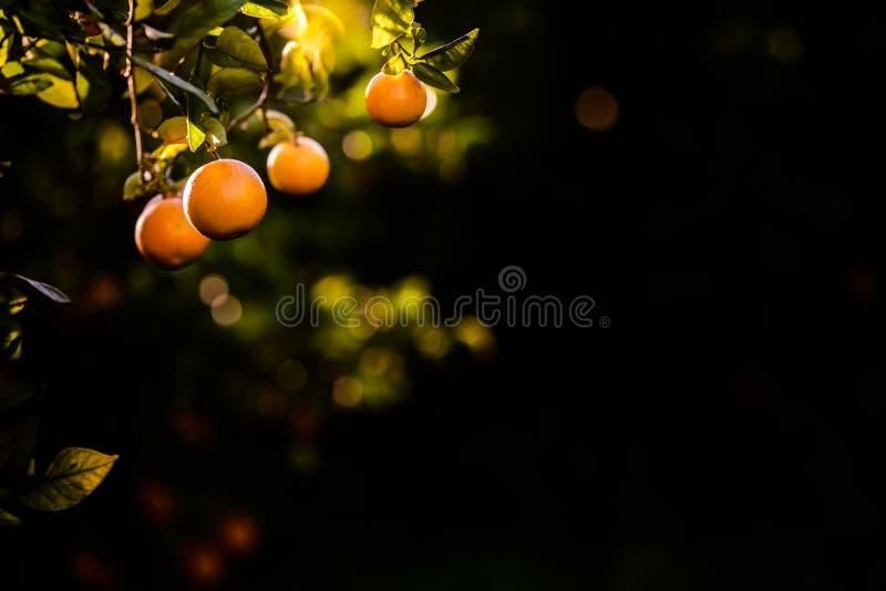 Laranjas maduras carregadas com vitaminas penduradas na laranjeira em uma plantação no pôr do sol com raios solares no fundo na p imagem de stock