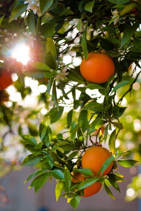 Laranjas maduras em uma árvore fotos de stock royalty free