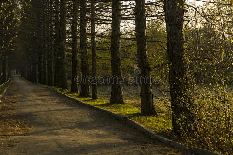 Evening alley in the old park. Larch alley in the old park in the spring in the evening light royalty free stock images