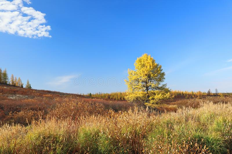 Larch autumn in the North of Western Siberia in September. Yamal forest tundra on a Sunny autumn day in Siberia royalty free stock photos
