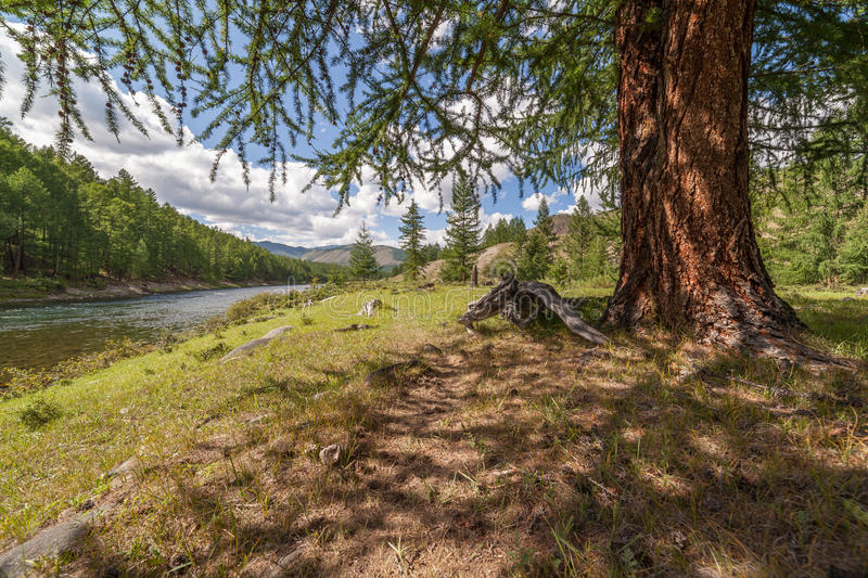 Larch on the bank of the mountain river. stock photo