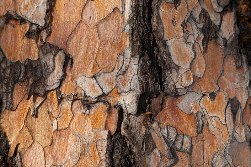 Larch bark dark background royalty free stock image