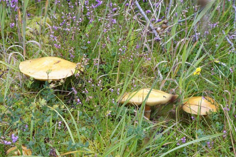 Larch Bolete. Suillus grevillei Common mushroom with Larch Trees stock photography