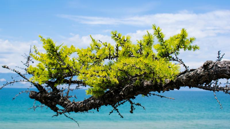 Larch branch on a bright Sunny day. nature. larch branch on the background of the lake and the blue sky. Larch branch on a bright Sunny day. nature. Branch of stock photo