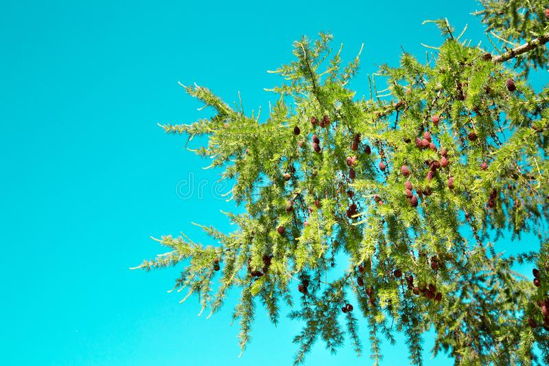 Larch branch with cones against the turquoise sky on a bright Sunny day. The nature of the flora of temperate climate. Texture backgrounds for graphic royalty free stock images