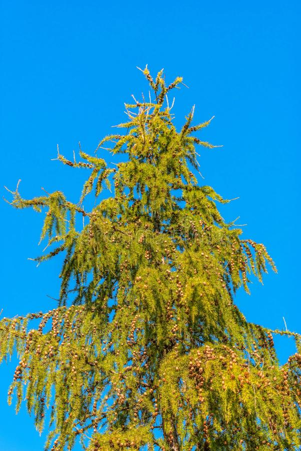 Larch branches with cones in the autumn park. stock image