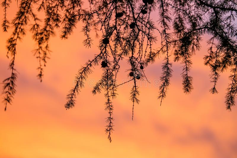 Larch branches at sunset stock photography