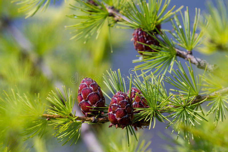 Download Larch with cone stock image. Image of color, cone, park - 83721289