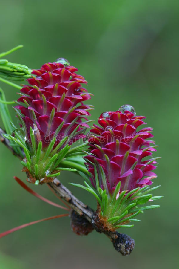 Free Larch Cones Royalty Free Stock Photo - 35502925