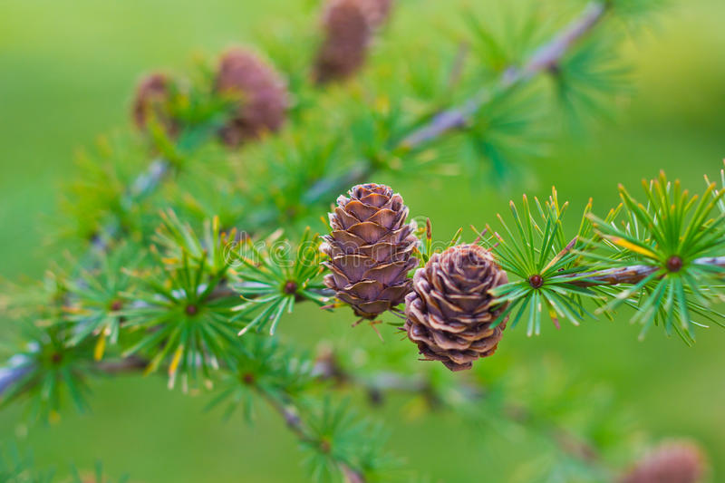 Download Larch Cones On Branch Royalty Free Stock Images - Image: 21623719