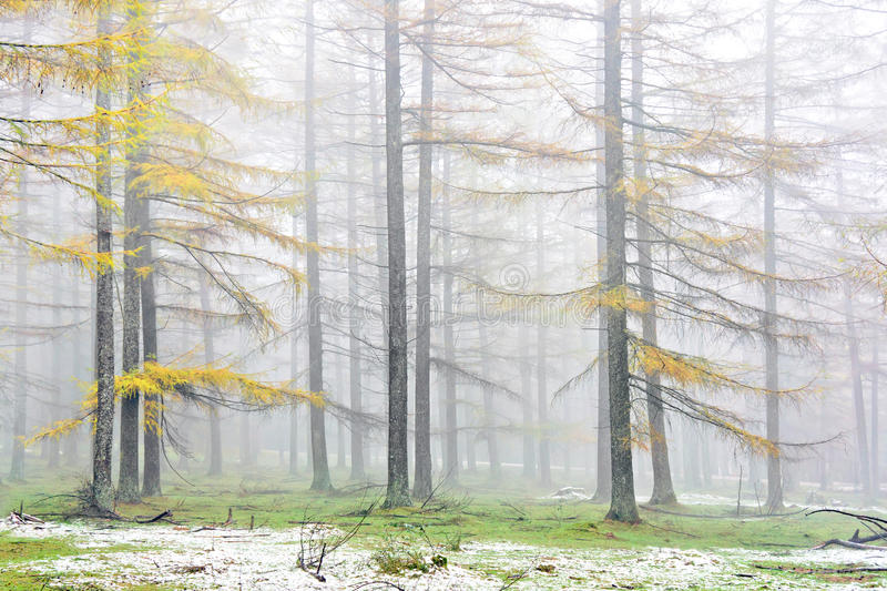 Larch forest in autumn with vivid yellow color stock image