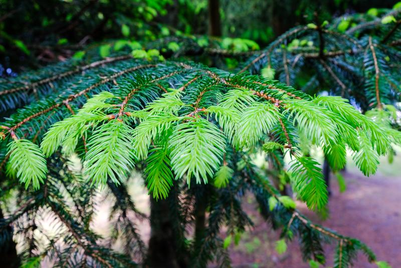 Larch Ornament Stock Image. Image Of Needles, Detail