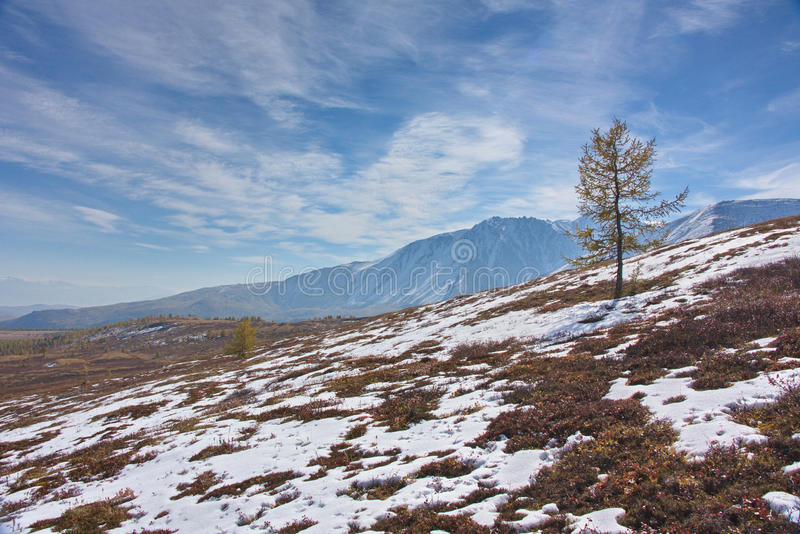 Larch on a snowcovered meadow against the background of mountains. In the fall in Altai royalty free stock photography