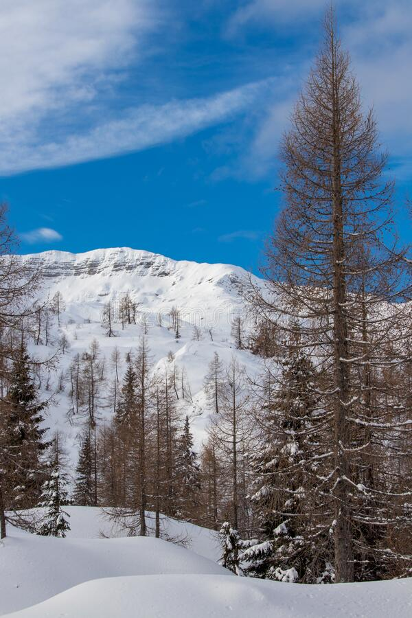 Larch trees in Bohinj valley, winter time. Beautiful mountains in Triglav national park, Slovenia royalty free stock photography