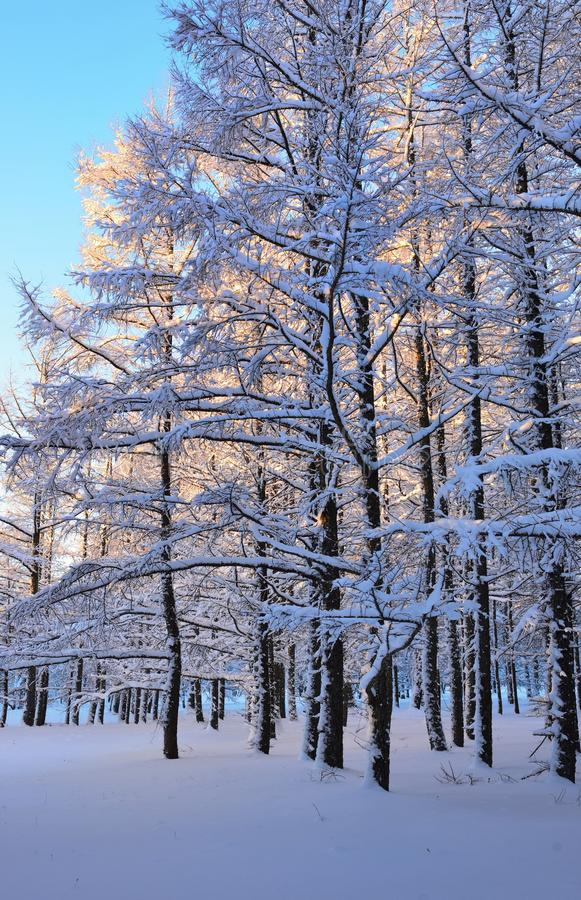 Larch wood. This is frosty morning in Caucasus larch wood in winter stock photo