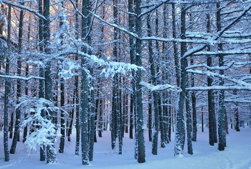 Larch wood. This is frosty morning in Caucasus wood in winter stock photos