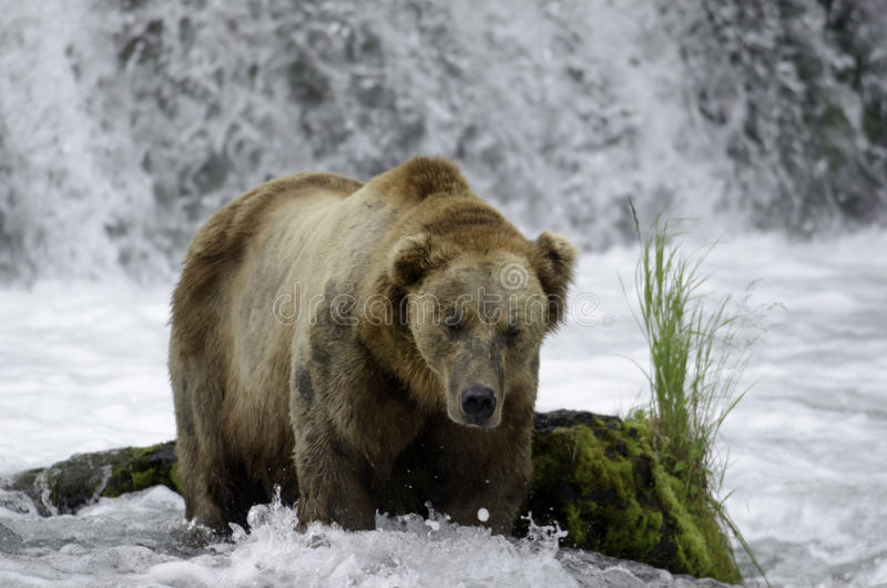 Large adult brown bear in a steam royalty free stock photo