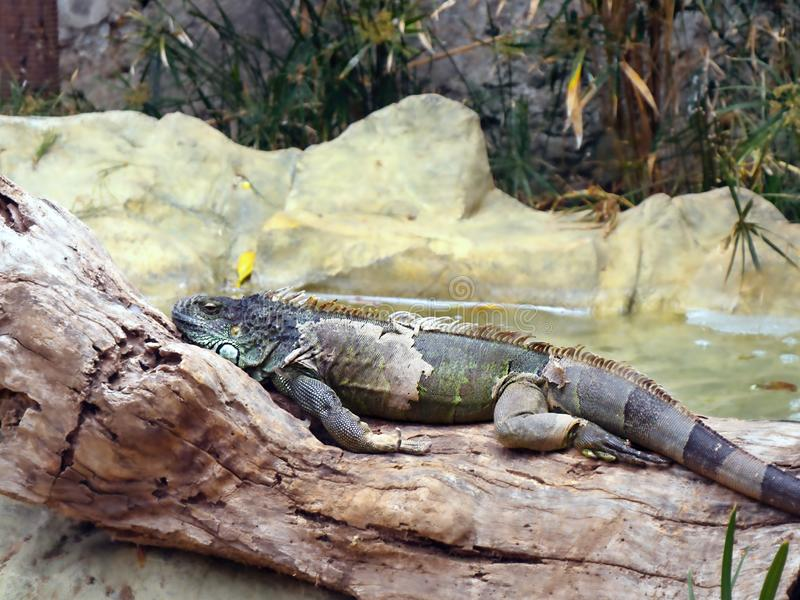 A large adult male iguana  lies stretched out on a tree trunk, the old skin shreds can be seen on the various parts of the body. A large adult male iguana with royalty free stock photo