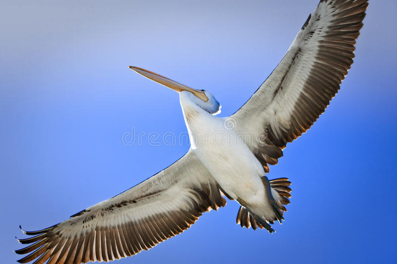 Download Large Adult Pelican In Flight Stock Photo - Image: 25989332