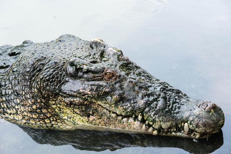 Large adult salt water crocodile in calm water close up. Taken on a cloudy day stock images