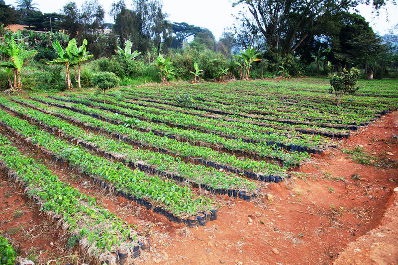 Large African coffee nursery. African arabica coffee nursery: rows of growing small plants ready to be sold and planted stock photography
