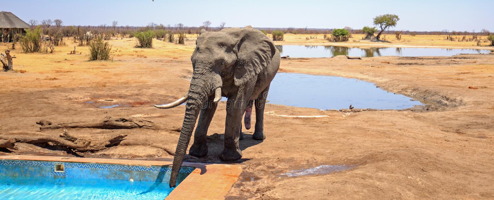 Large African Elephant drinking from the camp swimming pool in Hwange National Park. A bull elephant visits camp to drink from the swimming pool, with a thatched stock photo
