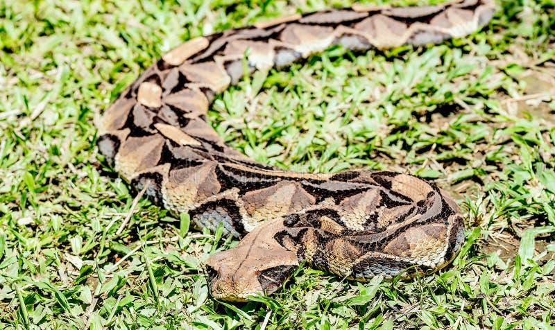 Large African Gaboon Viper snake ( bitis gabonica rhinoceros),En royalty free stock photo