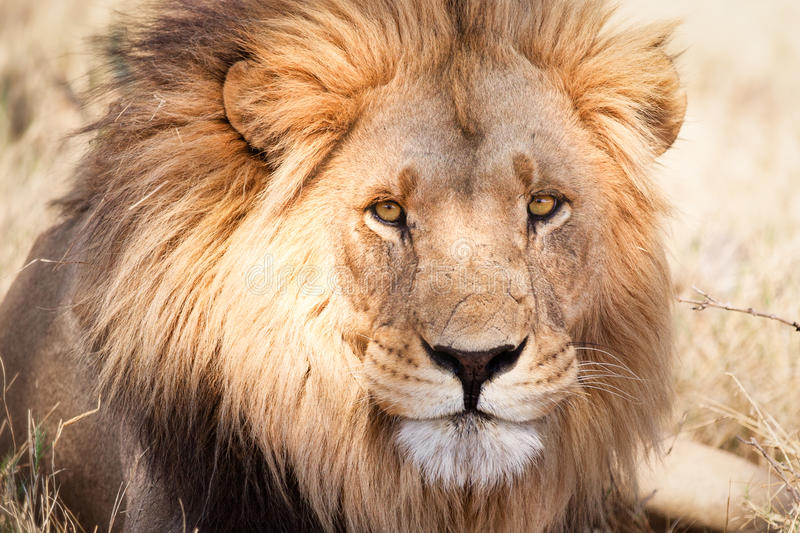 Large African lion in dry savannah stock image