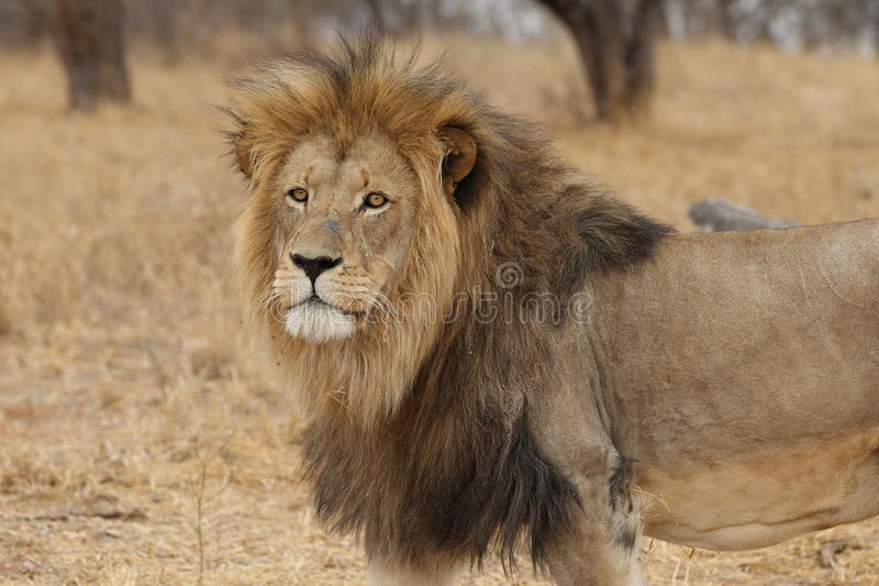 Large African Lion looking stock photos