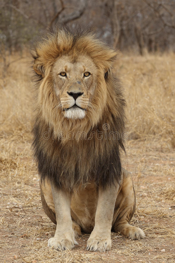 Large African Lion looking stock photography