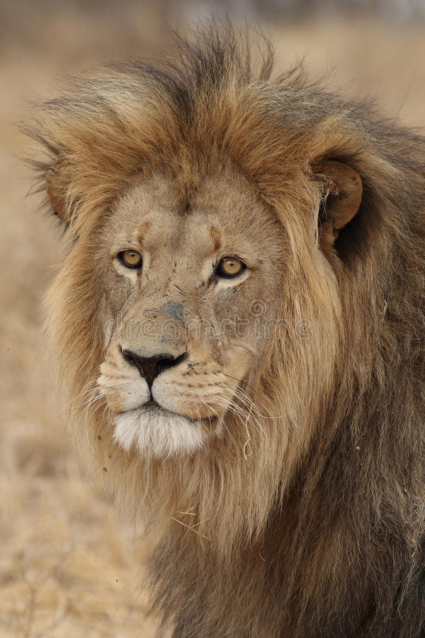 Large African Lion looking royalty free stock photo