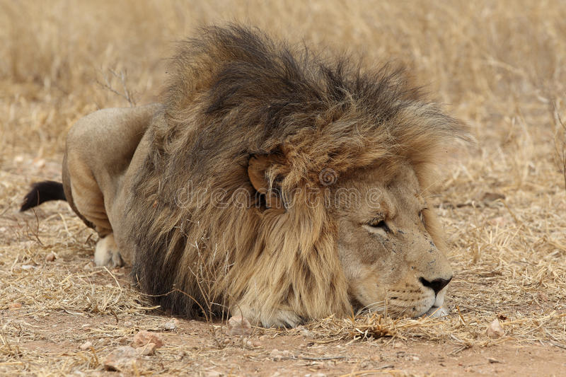 Large African Lion resting royalty free stock photo