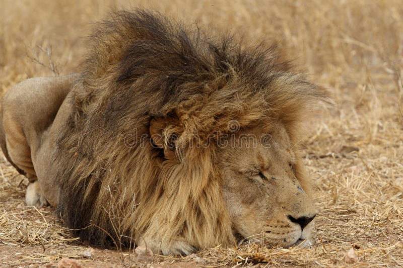 Large African Lion resting stock image
