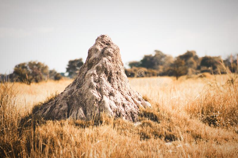 A large African Termite ant Mound in the wilds of the Okavango Delta In Botswana. stock photography