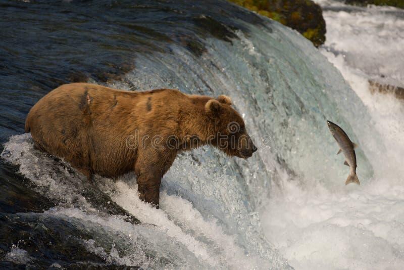 Alaskan brown bear with salmon royalty free stock photography