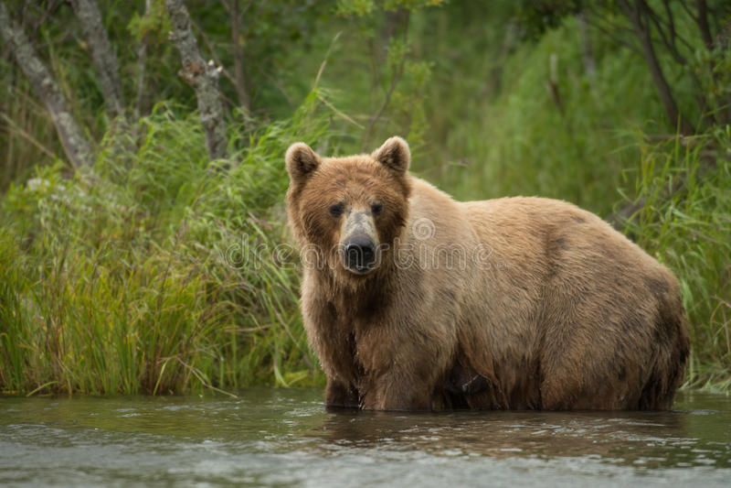 Alaskan brown bear sow stock photography