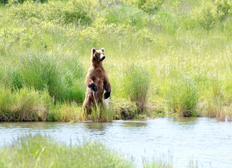 Large Alaskan brown bear standing on its hind legs stock photo