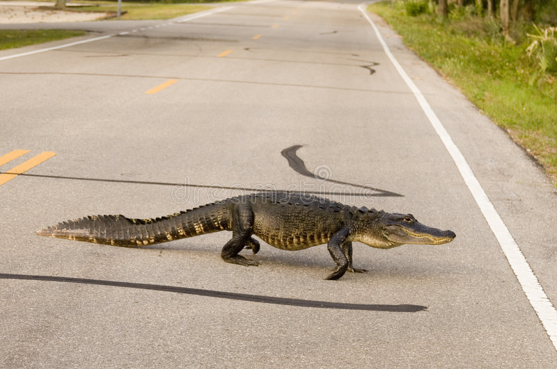 Large alligator crossing the road stock photos