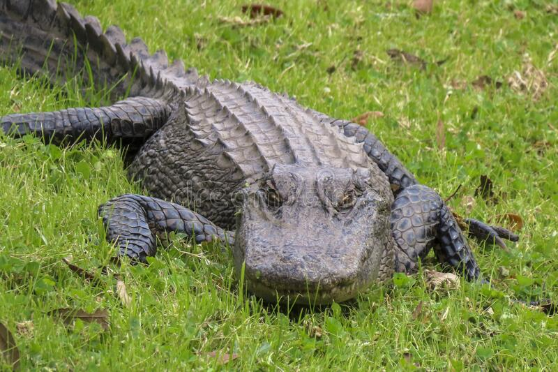 Large alligator in green grass stock photo