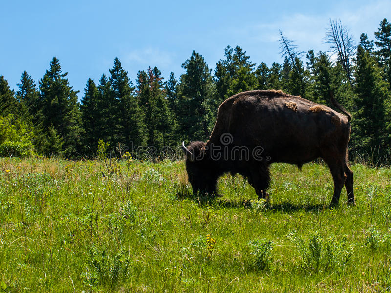 Large American Bison stock images