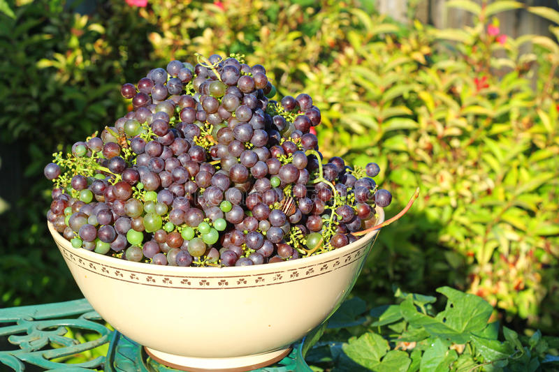 Large amount of black grapes in a bowl. A large amount of black grapes picked and in a bowl ready to press for wine stock images