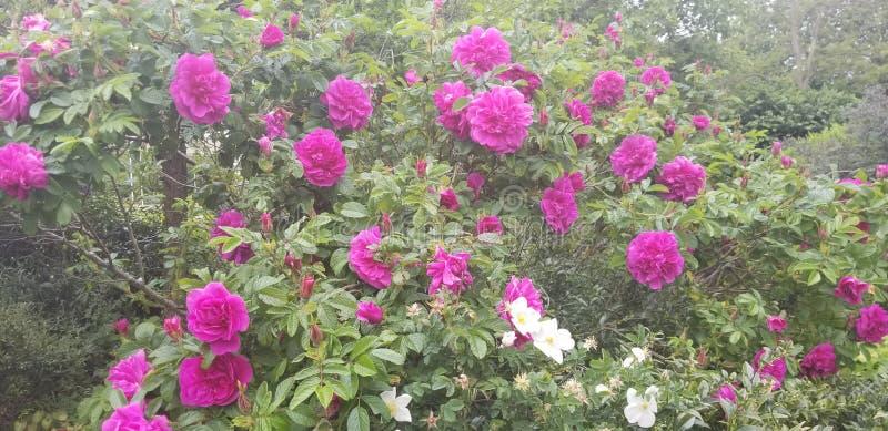 Large Amount of Pink Flowers. White royalty free stock image