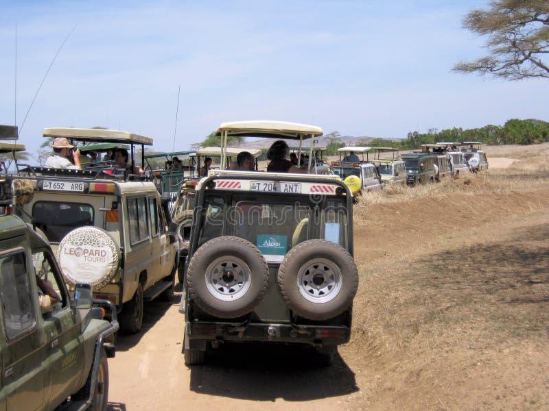 Large amounts of safari vehicles during Serengeti. Large amount of safari game drive vehicles with wild looking people Serengeti National park Tanzania Africa royalty free stock image