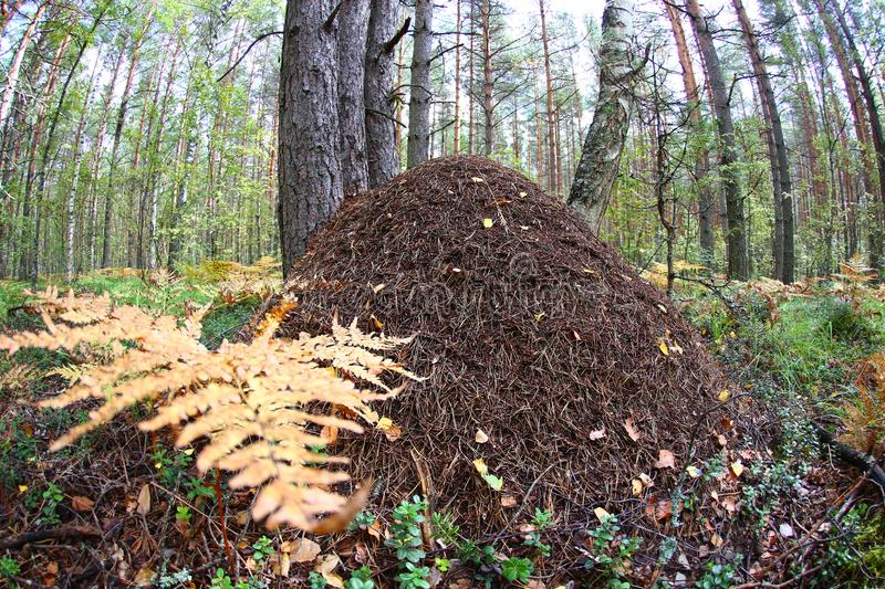 A large anthill close-up against a pine forest. fish eye lens stock photos