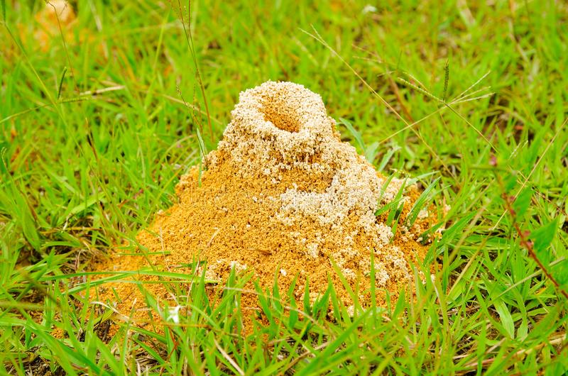 Large anthill of red ants Formica rufa in the grass, in the grove on the edge of the forest. Background stock photography