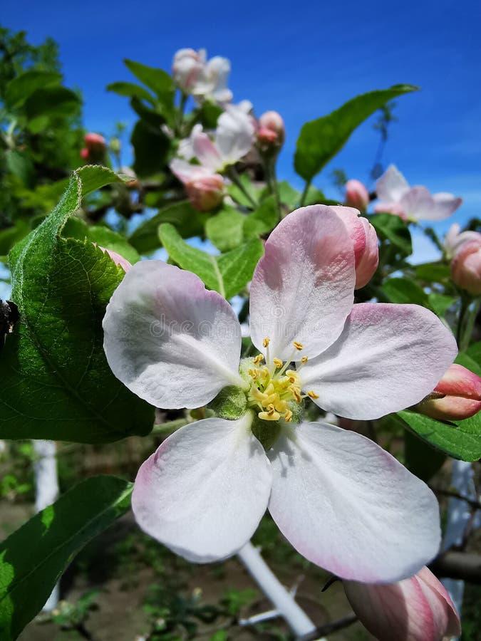 Large apple flower stock image