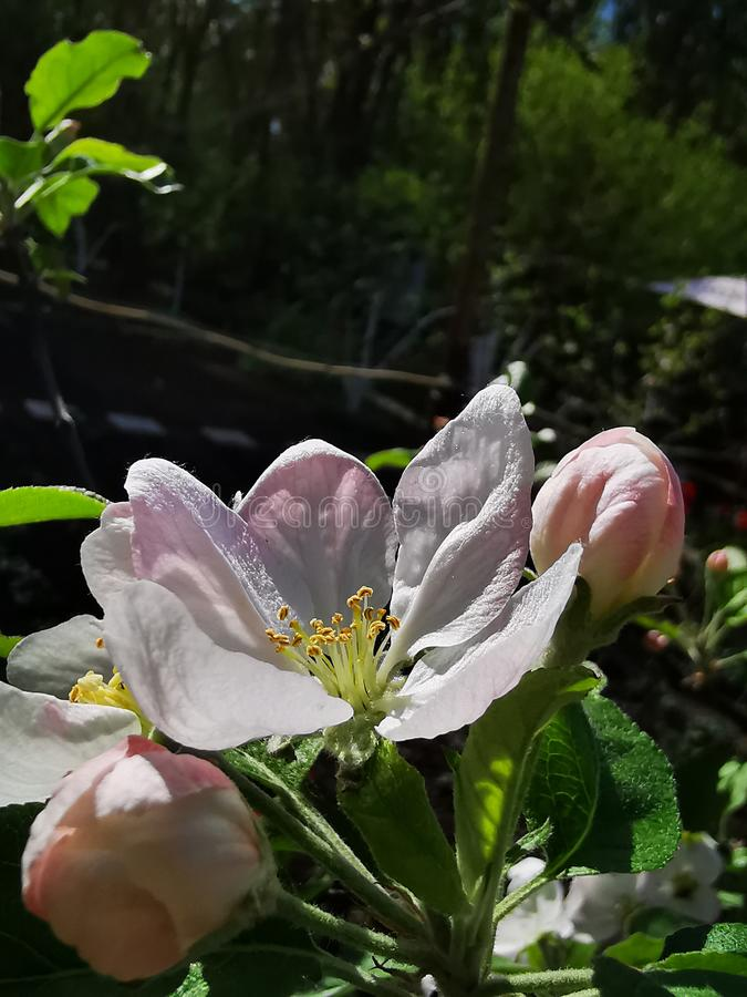 Large apple flower royalty free stock photo