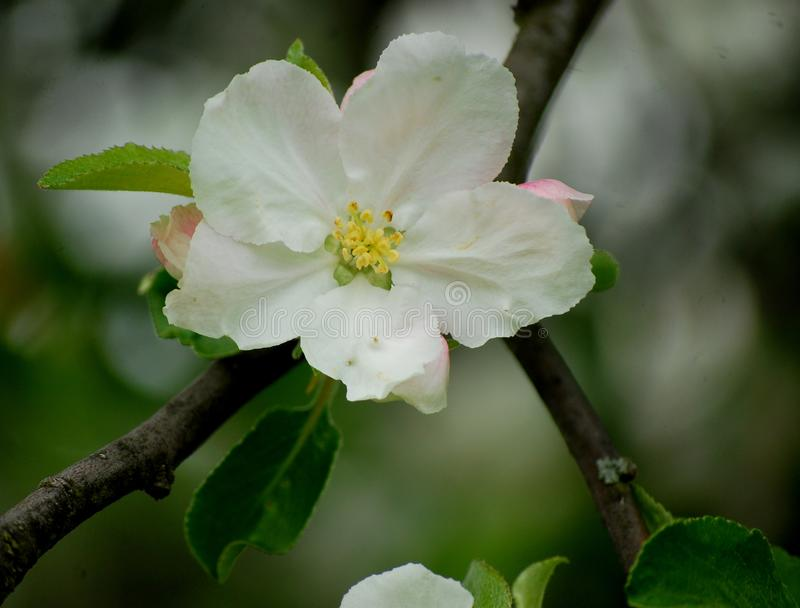 Large white apple tree flower stock image