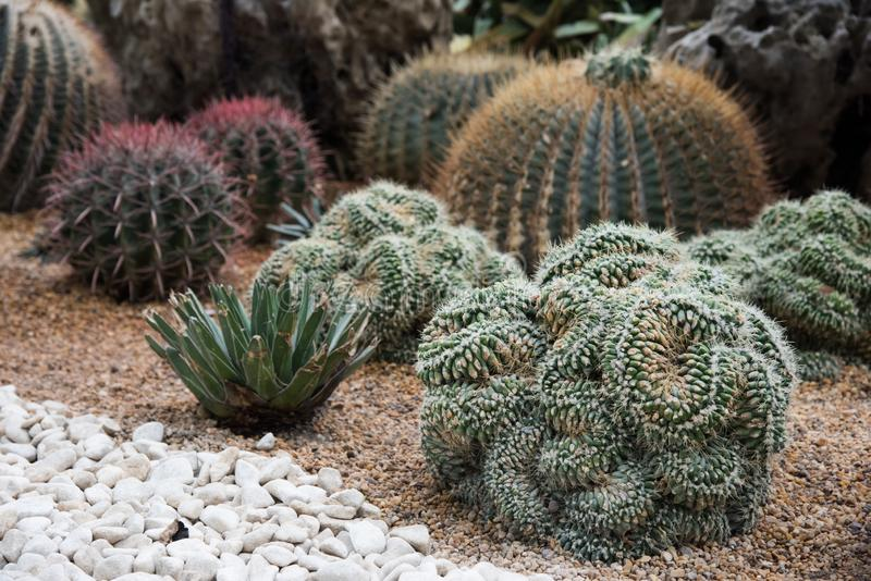Large Assorted Cacti in the garden royalty free stock photography