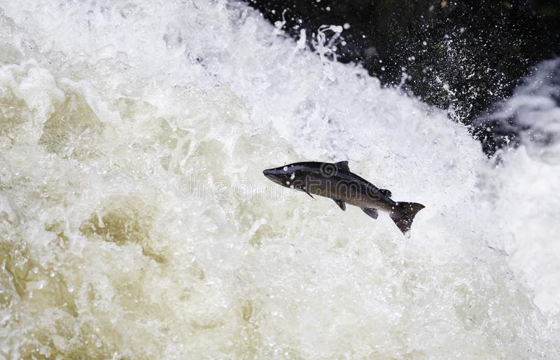 Leaping Atlantic salmon (salmo salar). The mighty Wild Atlantic salmon travelling to spawning grounds during the summer in the Scottish highland. The salmon in royalty free stock images